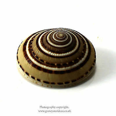 large sundial seashells with amazing spiral pattern | 3cm