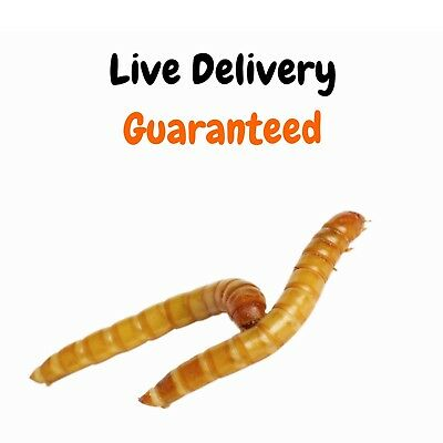 Live Mealworms - Grown Organic Bulk Feeder Insects (250 - 5000 Count) - S, M, L 4