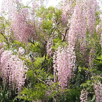 Wisteria Rosea   Pink Flowering Deciduous Hardy Climbing Garden Shrub Plant 4