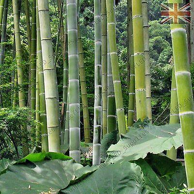 Chin Riesenbambus Samen 100 Stuck Moso Bambus