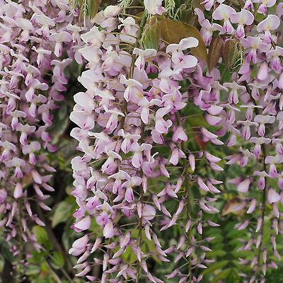 Wisteria Rosea   Pink Flowering Deciduous Hardy Climbing Garden Shrub Plant 6