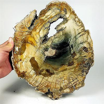 "11.06"" 2429g POLISHED PETRIFIED WOOD FOSSIL AGATE SLICE DISPLAY Madagascar A1072"