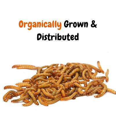 Live Mealworms - Grown Organic Bulk Feeder Insects (250 - 5000 Count) - S, M, L 2