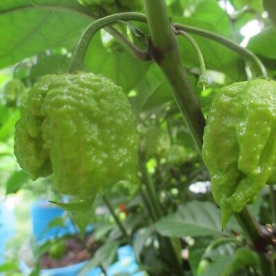 Lot of 3 (90+ DAYS OLD) CAROLINA REAPER Worlds Hottest Pepper LIVE PLANT 6