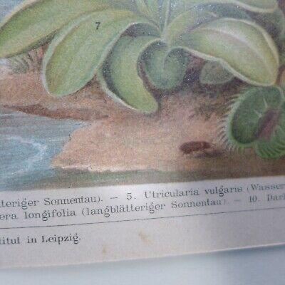 Insektenfessende Pflanzen ,Chromolithografie  19. Jhdt. 3