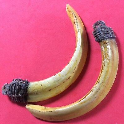 Real 2 Wild BOAR Pig Hog Teeth Thai Amulet Power Fang Antique Pendant Talisman