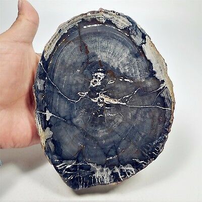 157mm 740g POLISHED PETRIFIED WOOD FOSSIL AGATE SLICE DISPLAY Madagascar A1697