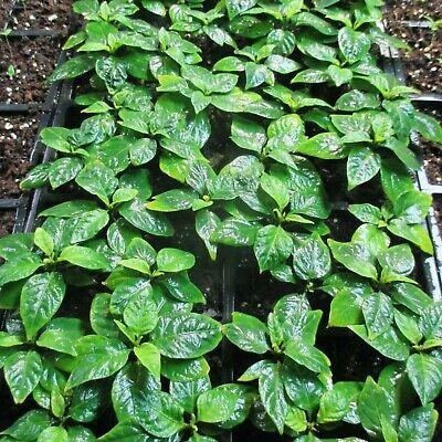 Lot of 3 (90+ DAYS OLD) CAROLINA REAPER Worlds Hottest Pepper LIVE PLANT 2