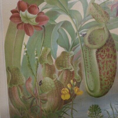 Insektenfessende Pflanzen ,Chromolithografie  19. Jhdt. 2