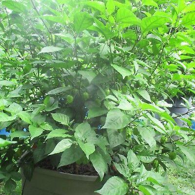 Lot of 3 (90+ DAYS OLD) CAROLINA REAPER Worlds Hottest Pepper LIVE PLANT 7