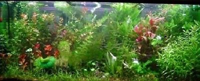 PROMO  lot 10 bouquets 60 plantes aquarium vert rouge   +2 cladophoras en+ 2
