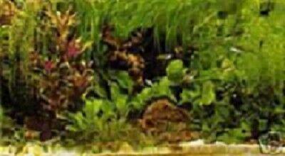 PROMO Lot 30 plantes aquarium 5 varietes +1 cladophora  en+ 3