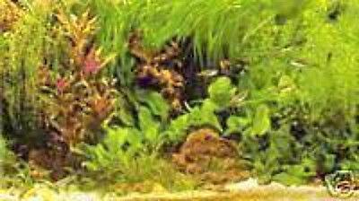 PROMO Lot de 40 plantes aquarium 7 varietes a racines et tiges+2 cladophora en+ 3