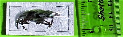Unusual Green & Red Snout Beetle Curculionidae sp. FAST SHIP FROM USA