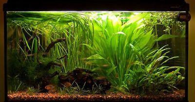 Amazon Sword Echinodorus Bleheri Live Aquarium Plants Decorations Bundle Rooted 3