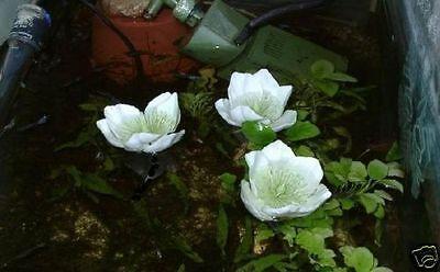 Weiße Miniseerose + Dünger Aquaristikzubehör Produkte für das Terrarium Aquarium 2