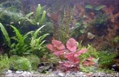 120 Wasserpflanzen + 2 Tigerlotus + 10 Schwimmpflanzen + Wasserpflanzendünger 2