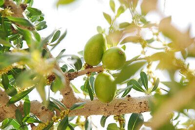 Argania Spinosa VERY FRESH SEEDS 5 Seeds The Argan Nut Tree MOROCCO GOLD