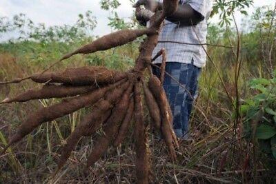 CASSAVA -Manihot esculenta - Yuca stem 4 - L I V E- cuttings 100% GERMINATE 5