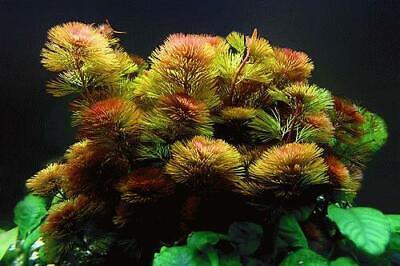 Red Cabomba Piauhyensis Furcata Fanwort Bunch Live Aquarium Plants BUY2GET1FREE 3