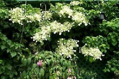 50 climbing hydrangea white flower vine seeds comb sh 150 2 of 3 50 climbing hydrangea white flower vine seeds comb sh mightylinksfo