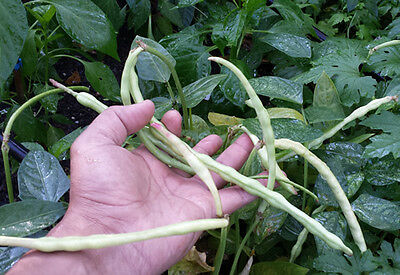 An Ultra Rare Bush Variety Yardlong Chinese Noodle Bean Dwarf RED Snake Bean
