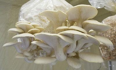 //WHITE PEARL OYSTER //MUSHROOM SEEDS//FOR LOGS AND SUPSTRATS Pound 450gr//1 2 BAGS