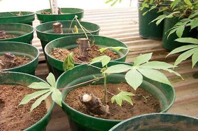 CASSAVA -Manihot esculenta - Yuca stem 4 - L I V E- cuttings 100% GERMINATE 3