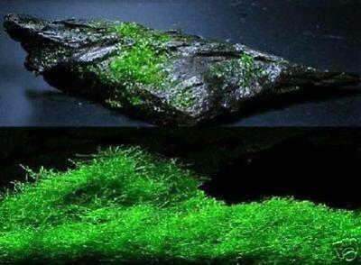 Wasserfarn / Aquariumdeko Zubehör zum Terrarium das Geschenk für die Aquaristik 2