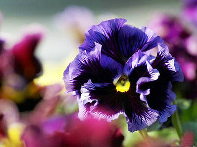 ... 30 Colored Pansy Seeds Viola Tricolor Herb Trinity Garden Flowers 3