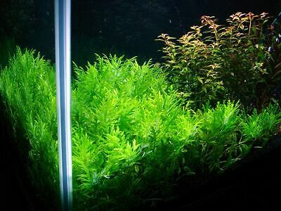 Hygrophila Difformis Bunch Water Wisteria Live Aquarium Plants BUY2GET1FREE 2