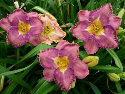 "Hemerocallis Taglilie /"" Francavilla al Mare/"" Daylily"