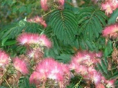 1 Pianta in alveolo di ALBIZIA JULIBRISSIN fiore ROSA INTENSO