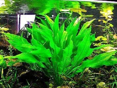 lot 40+5 plantes a racines aquarium anubia cryptocoryne echinodorus vallisneria 12