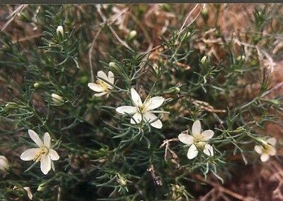 1-4-8 oz. / 1 LB / Kilo- wild Syrian Rue seeds Peganum harmala; incense, esphand