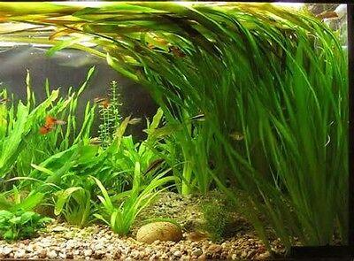 lot 20+2 plantes a racines aquarium anubia cryptocoryne echinodorus vallisneria 5 • EUR 49,99