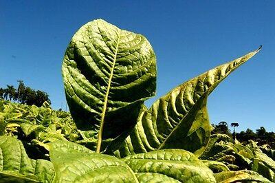 Nicotiana tabacum - Tabaco Burley - 500 semillas - Seeds 2