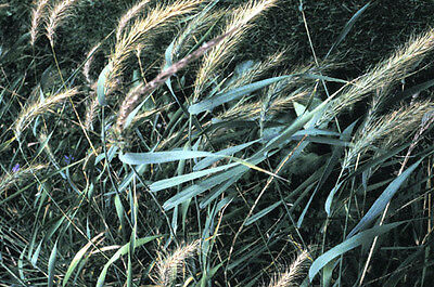 500 CANADIAN RYE Elymus Canadensis Grain Grazing Grass Ground Cover Seeds + Gift 7