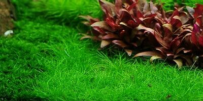 Eleocharis sp. 'mini' , Bonsai-Nadelsimse  1-2-Grow TROPICA Top Qualität