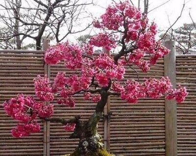 20x Japanische Kirschblüte Zierkirsche Sakura Bonsai Bonsai Samen//Seeds Rarität