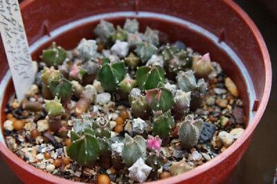 @ cactus cacti seed 30 SEEDS Astrophytum myriostigma cuadricostatum variegated