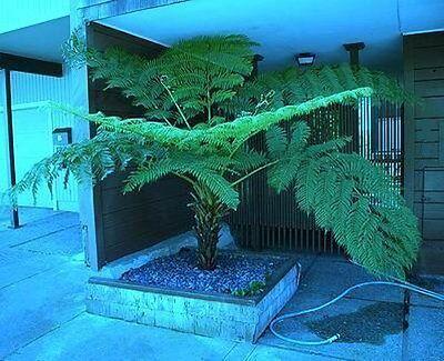 wächst 40 cm im Jahr Riesenfarnblätter //Samen Schwarzer Baum-Farn Zimmerpflanze