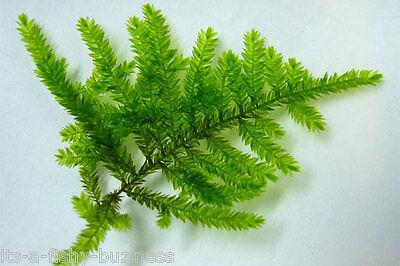 Spiky Moss on 9x9cm Pad Taxiphyllum sp Live Aquarium Plant co2 2