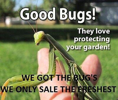 ⭐️ ⭐️ 1 LARGE Fresh Chinese Praying Mantis Egg ➕ Get A Free Hatching Habitat BAG 12