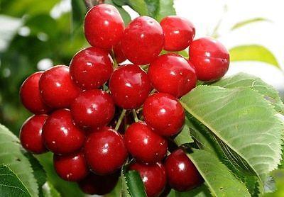 Kütahya Sour Cherry from Turkey