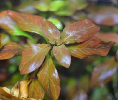 15 Ludwigia Repens Red Fresh Live Aquarium Plants Bunch Freshwater BUY2GET1FREE* 3