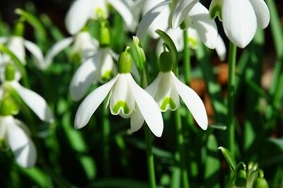 100 SINGLE SNOWDROPS | GALANTHUS NIVALIS | Spring Flowering Bulbs In The Green