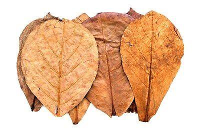 100 Seemandelbaumblätter 10-15cm (0,20€/Stk) Catappa Leaves / Seemandelbaumrinde