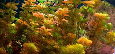Red Cabomba Piauhyensis Furcata Fanwort Bunch Live Aquarium Plants BUY2GET1FREE 2