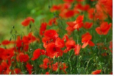 Flower Corn Red Field Poppy 12 Gram 84,000 Seeds - Flanders - Papaver Rhoeas
